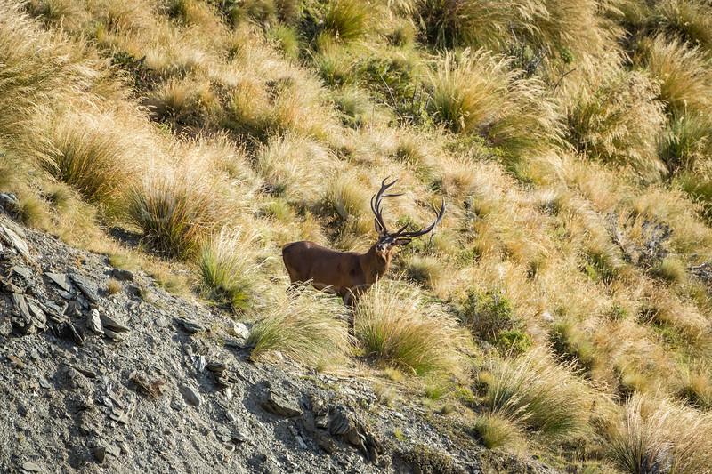 High Country Stag