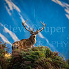 Mountain Stag