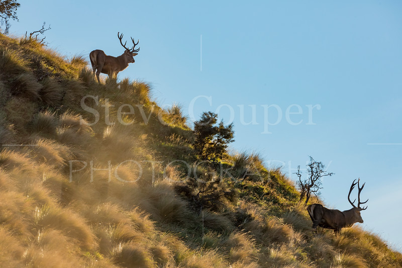 Two Stags