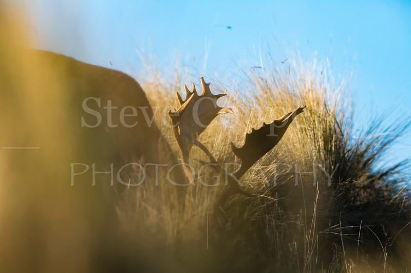 Fallow Antlers