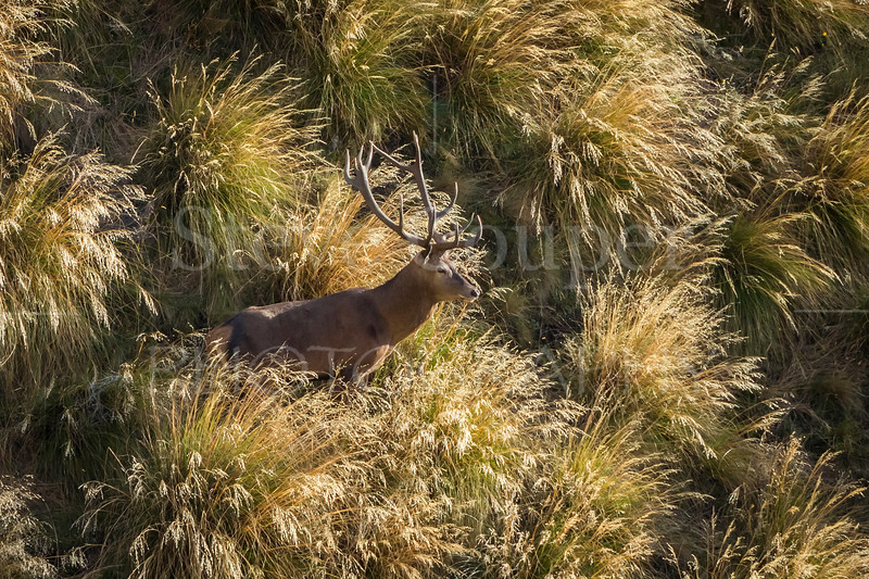 High Country New Zealand Red Stag