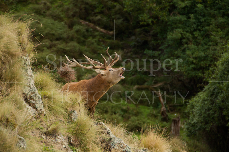 New Zealand Red Stag