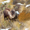 Black faced Bull Tahr