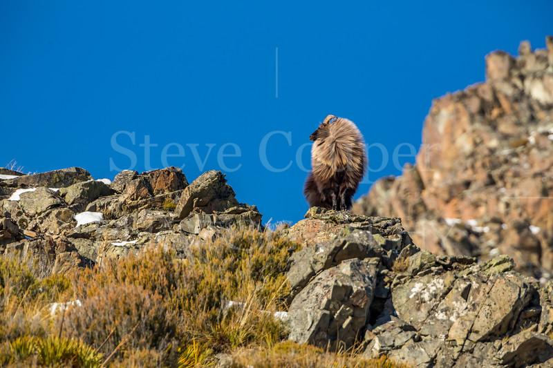 Bull tahr on rocks