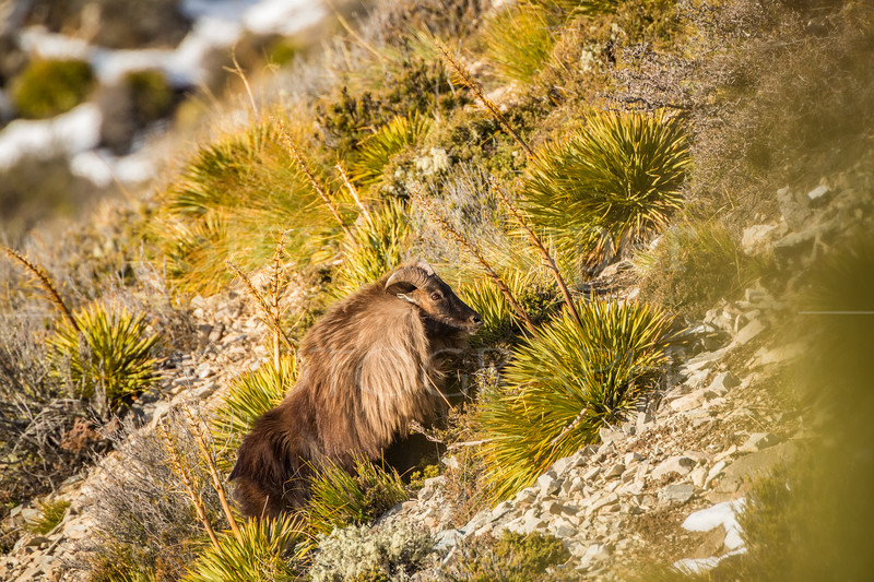 Mature Himalayan Tahr Bull