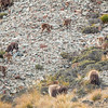 Bull Tahr everywhere
