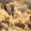 Displaying Bull Tahr