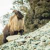 Himalayan Bull Tahr