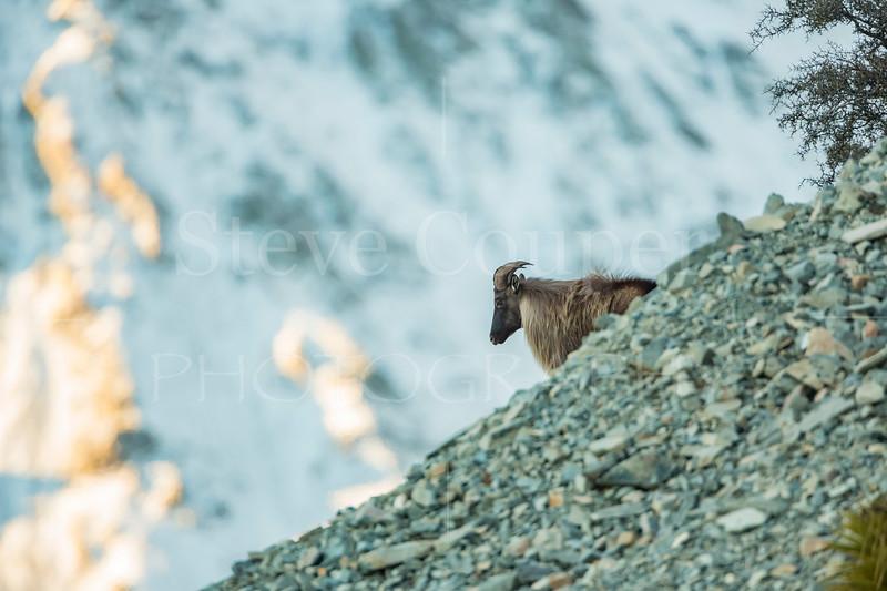 Bull in the gravel