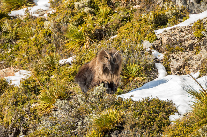 Tahr in the snow