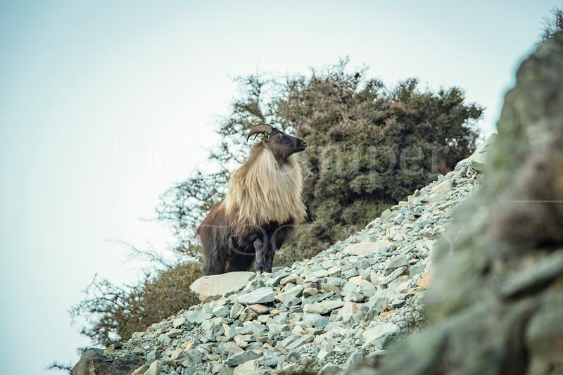 Blonde Bull
