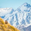 Tahr in the Southern Alps of New Zealand