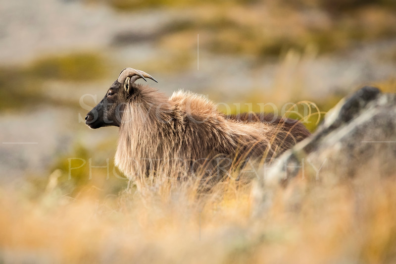 Young Bull Tahr