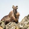 Bull tahr in the wind