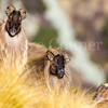 Group of Tahr