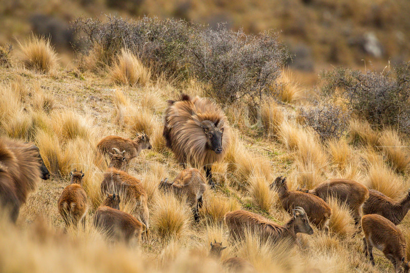 Himalayan Tahr Group