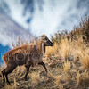 Attractive young Bull Tahr