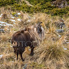 Late Season Bull Tahr
