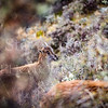 Young Tahr