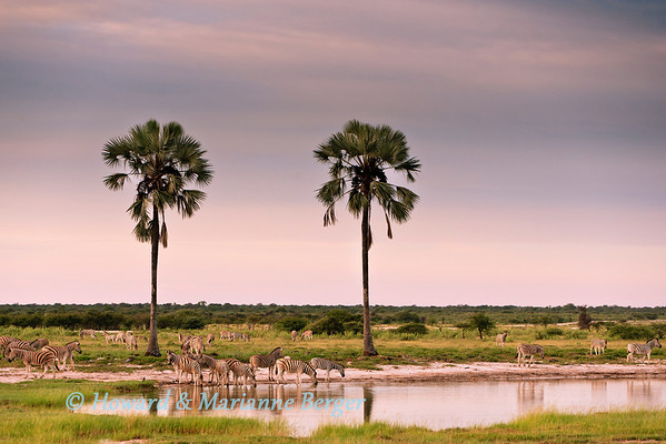 At Etosha National Park,  Twee palms waterhole,  a herd of zebra (Equus quagga burchellii) gather to drink in the early morning.