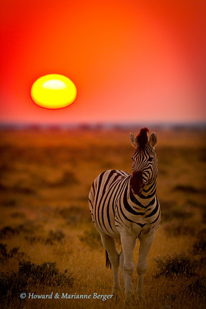 If you are lucky and the guards open the gates a few minutes earlier you sometimes are lucky enough to find an animal  posing in front of the rising sun in the open veld of Etosha in Namibia. This zebra ((Equus quagga burchellii) kept very still to allow a sharp picture