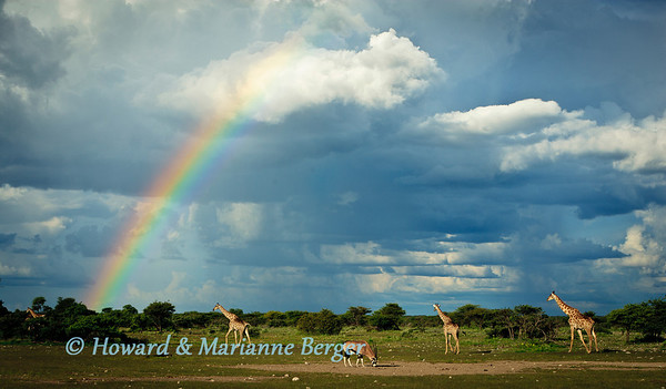 They have seen magnificent rainbows and rainstorm clouds many times before. The  Gemsbok (Oryx gazella), &  Giraffe (Giraffa camelopardalis) nonchalantly go about their tasks at sunset near  Fischer's pan, Etosha National Park, Namibia.