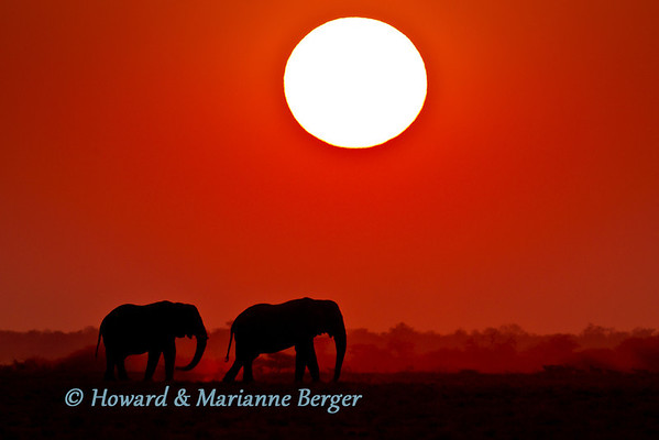 We were rushing back back to Namutoni camp to make it before the gates closed when these two bull elephants (Loxodonta africana)  emerged from the dense bush. They gently strolled into the approaching night, silhouetted against the vast fiery sky. We had to stop and attempt to capture this magnificent scene.