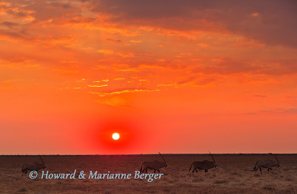 At sunrise at Doringdraai, near Namutoni,  in Etosha National Park, Namibia a herd of gemsbok (Oryx gazella), slowly parade past with horns raised.