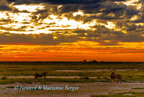 At sunrise at Doringdraai, the black maned Lions  (Panthera leo), stretch and prepare for the new day. Namutoni, Namibia.