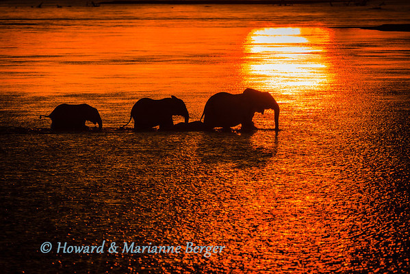 At sunset a small group of elephants (Loxodonta africana),cross the  Luangwa river, at  Wildlife camp, South Luangwa National Park, Zambia.