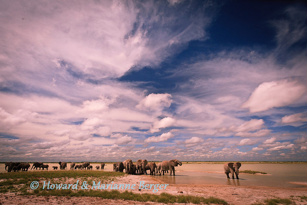 A large herd of elephants  (Loxodonta africana) drinking at Fischer's pan, in Etosha National Park, Namibia are outnumbered and dwarfed by the gathering of rainclouds towering overhead.