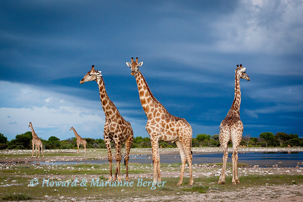 Giraffe (Giraffa camelopardalis), are on the alert as night falls at Klein Namutoni waterhole, Etosha National Park, Namibia