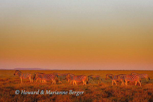 At sunrise, zebra herd(Equus quagga burchellii) grazing  near  Okaukuejo in Etosha National Park, Namibia.