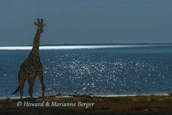 At Doringdraai near  Namutoni Camp, the setting sun  silhouettes a lone Giraffe (Giraffa camelopardalis) and turns Fischer's pan a deep blue,  Etosha National Park, Namibia,