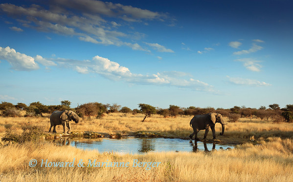 Elephant  bulls(Loxodonta africana) in Etosha National Park, Namibia, depart from Klein Okevi waterhole after a sunset drink