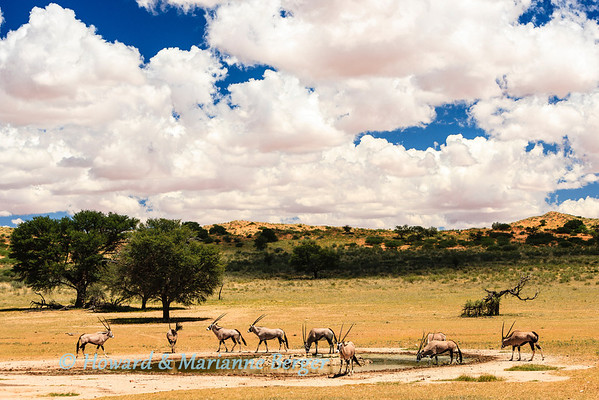 A herd of gemsbok (Oryx gazella), drink at the 14th waterhole, along the Auob river bed. Kgalagadi transfrontier park, South Africa. Notice how the borehole is overflowing because of the summer rains, and more rain is on the way