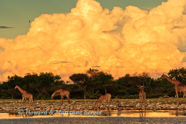 At Klein Namutoni Waterhole, Etosha National Park, Namibia a herd of Giraffe (Giraffa camelopardalis) gathers under the massing rain clouds to have sundowners.