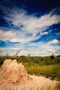 A herd of  Giraffe (Giraffa camelopardalis) at  Fischer's pan,Etosha National Park, Namibia await the afternoon's thunderstorm