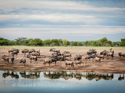 a herd of Blue wildebeest (Connochaetes taurinus), drink at Chudop Waterhole, as the clouds gather in the early morning.  Namutoni, Etosha National Park, Namibia.