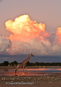 We watched in awe as the Giraffe (Giraffa cameulopardalis), strode into our view as a foreground  to a magnificent sunset  at Klein Namutoni, Etosha National Park, Namibia,