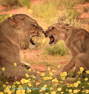 Along the Auob river in the Kgalagadi Transfrontier Park in South Africa this lioness (Panthera leo) and her cub were resting in the flowers. Suddenly they seemed to disagree and  a ferocious display of anger erupted. It, however, soon subsided.