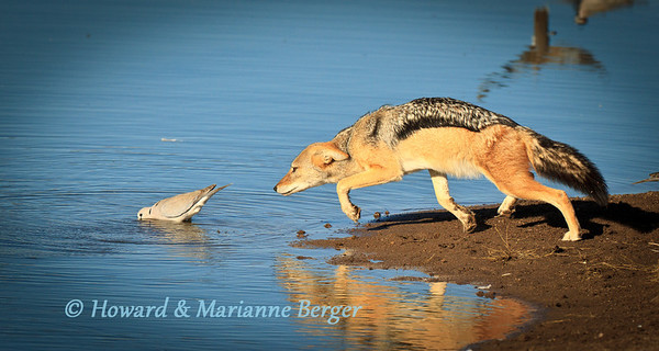 In the early morning at Chudop waterhole, Etosha, Namibia a blackbacked jackal (Canis mesomelas) catches a Cape turtle dove (Streptopelia capicola).