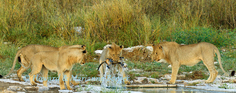 Young male lions (Panthera leo) approached the drinking trough at Kalkheuvel (Etosha, Kamibia) for an early morning drink. One of the lions started to snarl down into the water and I thought he had been disturbed by his own reflection. He then sudenly dipped down into the water and pulled out this dead cat. He immediately lost interest in his find and tossed it aside. Closer analysis of the image shows dark spots and it appears to have been a drowned leopard cub (Panthera pardus)