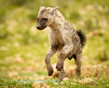 This spotted hyena pup (Crocuta crocuta) was apparently left on his own in the den near Urikaruus waterhole, Kgalagadi Transfrontier Park. He did not seem perturbed and repeatedly joyfully galloped all around his playground