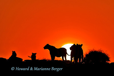 At Klein Namutoni waterhole, Etosha, Namibia, this pride of lions, on patrol, were silhouetted as the sun rose.