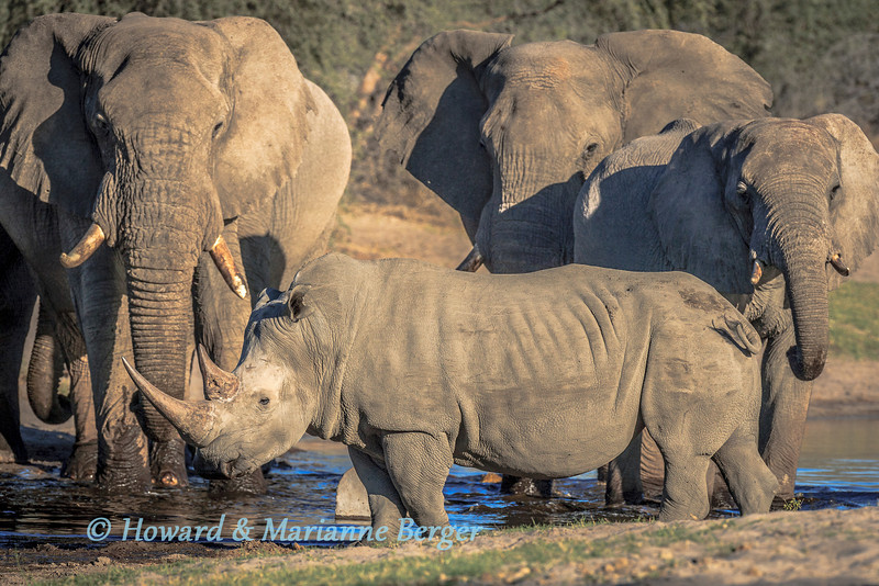 A small herd of elephant (Loxodonta africana) and a white rhinoceros (Ceratotherium simum) warily but peacefully drink together at a waterhole along the Boteti river, near Xhumaga camp, Botswana.