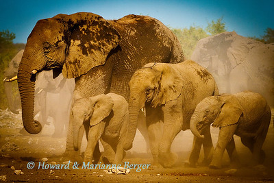 In a cloud of dust a herd of elephants (Loxodonta africana) arrive at Klein Namutoni waterhole for an afternoon drink.