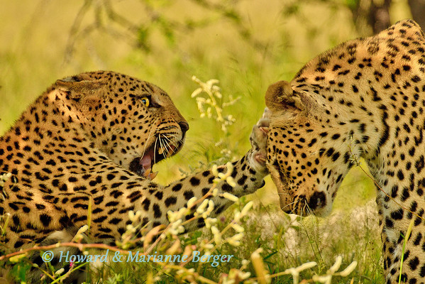 In the early afternoon, we were driving to Chudop waterhole in Etosha national park in Namibia when we were surprised  to find a leopard (Panthera pardus) couple having an argument. The female agressively resisted the male's persistent advances