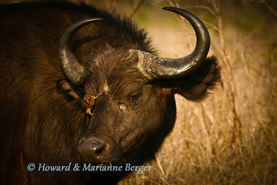 Red-billed Oxpecker searching for ticks on a Cape buffalo (Syncerus caffer caffer) in the Kruger National Park