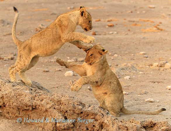 A pride of lions (Panthera leo) settled in at Chudop water hole, in Etosha National Park, Namibia for a few days.  Each morning were treated to wonderful displays of agility by the cubs. It was difficult to find the ideal depth of field and camera speed to capture their antics.